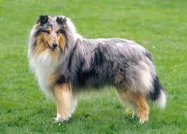 large-dog